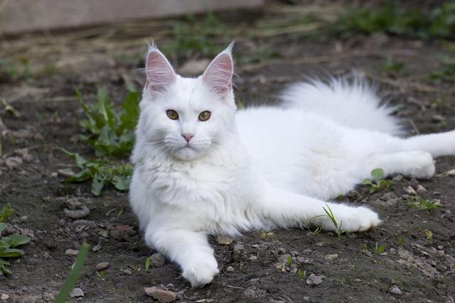 питомник Angel Savage белая кошка